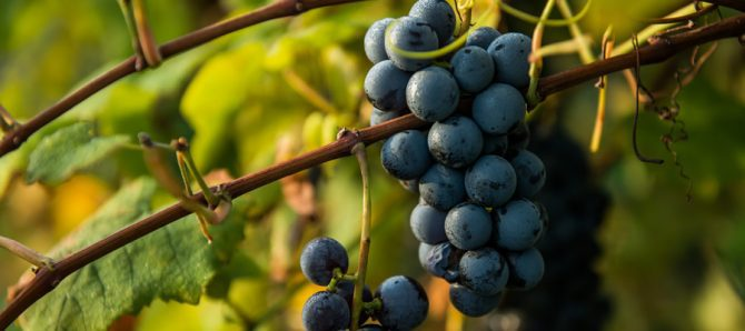 Mazza Vineyards Grapes